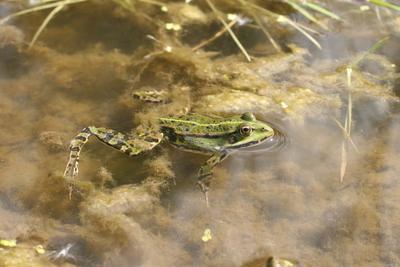 żaba wodna, autor:Małgorzata Gębala