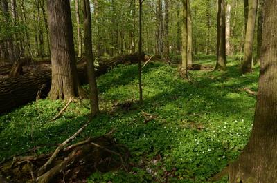 Grąd środkowoeuropejski w aspekcie wiosennym, źródło: RDOŚ Opole
