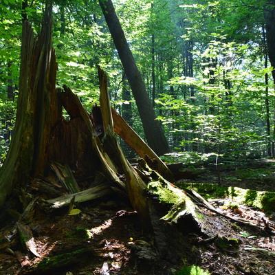 Martwe drewno e rezerwacie przyrody Płużnica, autor Dorota Twardzik