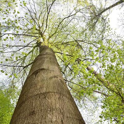 Buk zwyczajny w rezerwacie przyrody Leśna Woda, autor: Dorota Twardzik