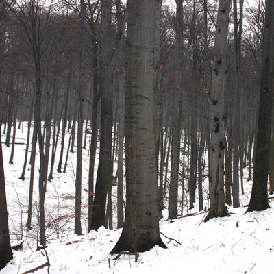buczyna w rezerwacie przyrody Boże Oko, źródło: RDOŚ Opole