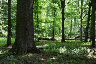 drzewostan rezerwatu przyrody Dębina, autor: Dorota Twardik