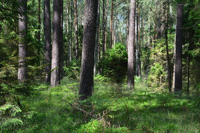 bór rezerwatu Kamieniec, autor: Dorota Twardzik
