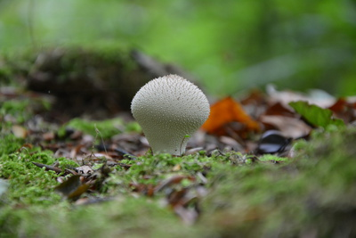 Lycoperdon perlatum - purchawka chropowata, autor: Dorota Twardzik
